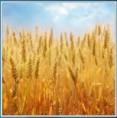 pixwords Pšenice